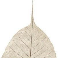 bodhi leaf cropped