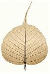 bodhi leaf 5 150pt